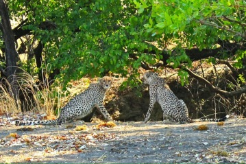 Kafue park is one of the last strongholds of the cheetah