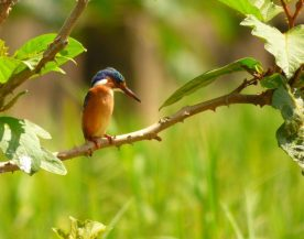 Malachite kingfisher on the Nangoma stream.