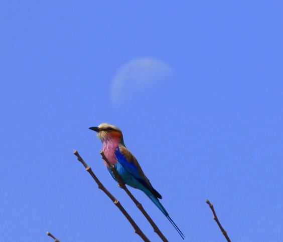 Lilac breasted roller (FILEminimizer)